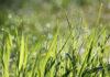 Mieszanki nasion na trawnik, która będzie odpowiednia