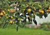 Jak rozpocząć przygodę z drzewami owocowymi