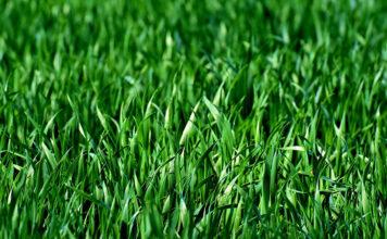 Idealny trawnik