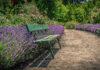 Lawenda w przydomowym ogródku